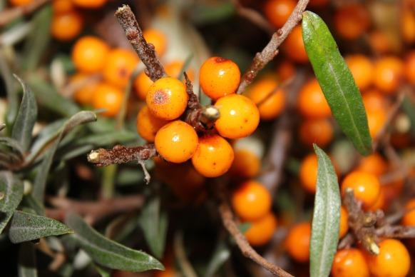 berry-1715172_1920